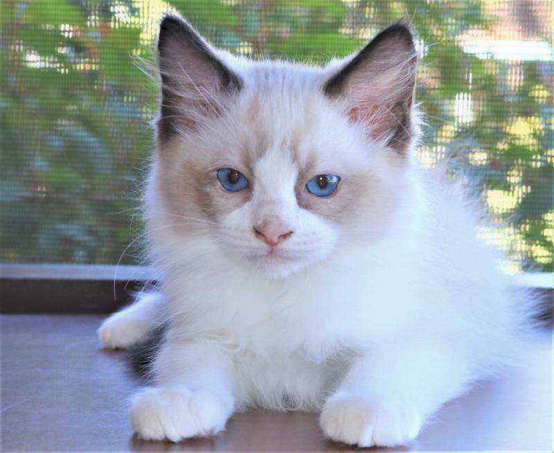 Seal Point Mitted Male Ragdoll Kitten For Sale In Florida