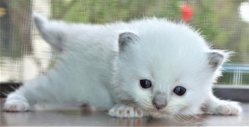Blue Point Mitted Female Ragdoll Kittens For Sale In Florida