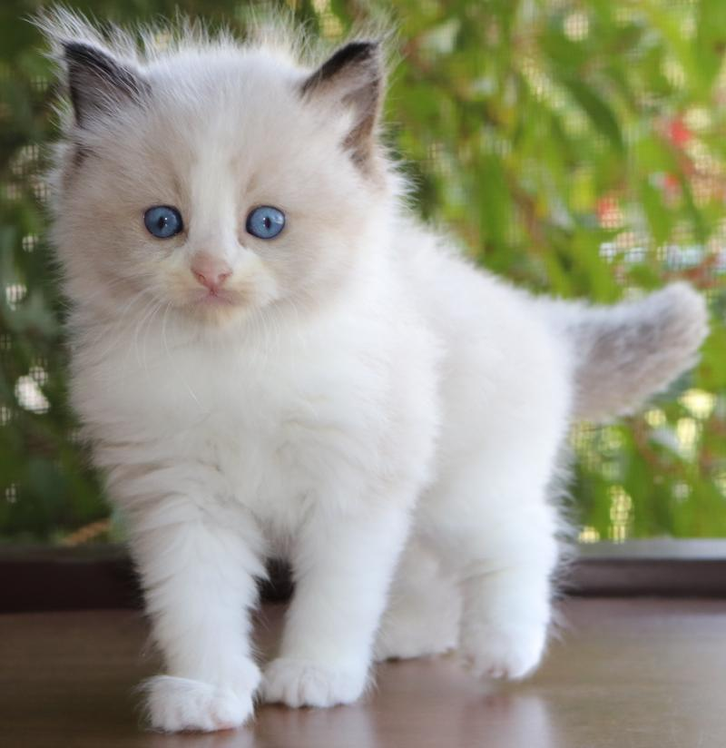 Male Bicolor Seal Point Pointed Ragdoll Kitten For Sale In Florida