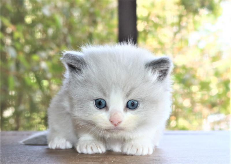 male blue lilac pointed bicolor white ragdoll kitten for sale in florida