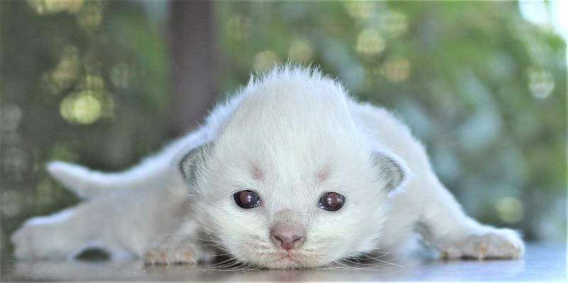 male blue point lilac mitted colorpoint ragdoll kitten for sale in florida