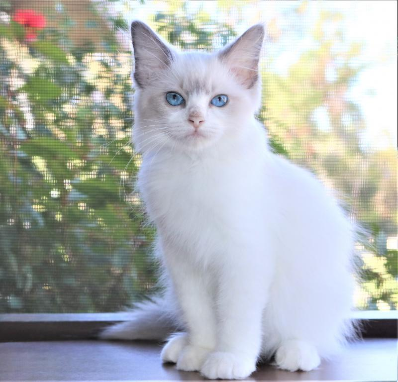 Blue Bicolor Female Ragdoll Kitten For Sale In Florida