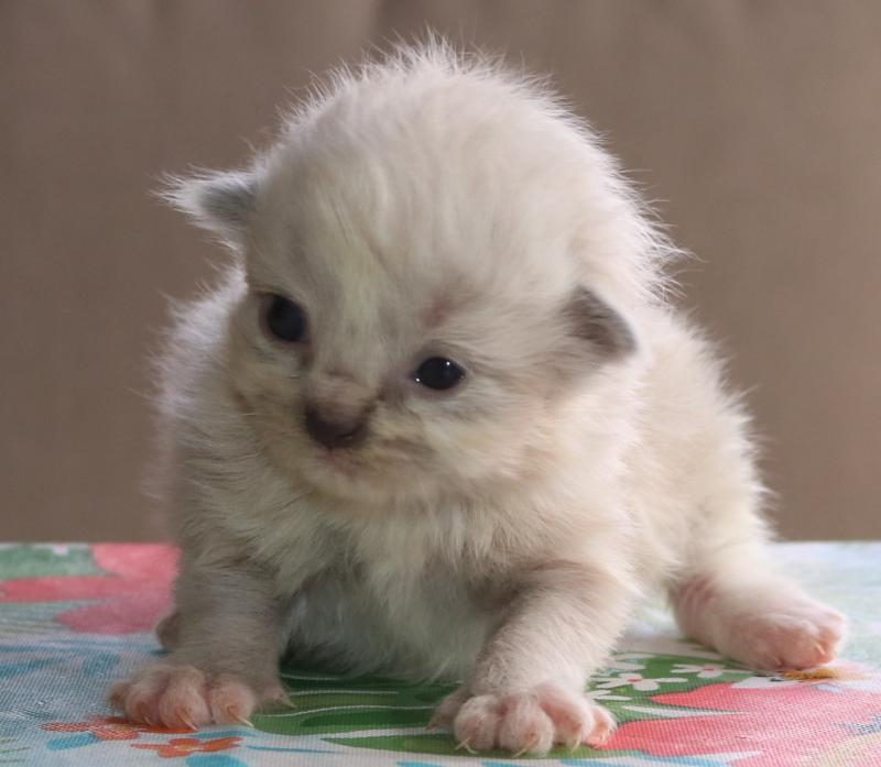 Ragdoll Kittens Divine - Olivia Kittens Born May 9thMay go home July