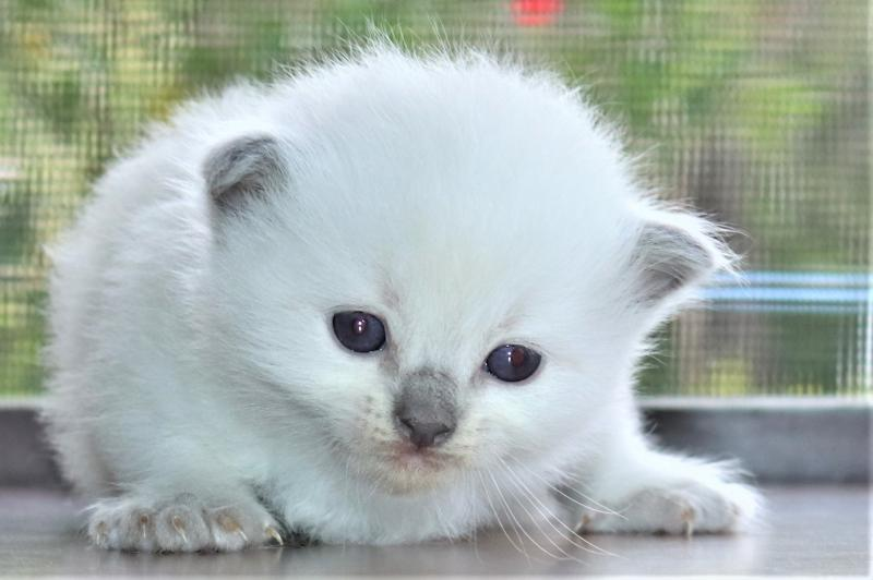 Blue Pointed Point Colorpoint Female Ragdoll Kitten For Sale In Florida