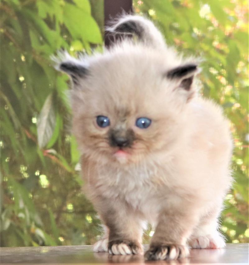 male seal point chocolate white mitted ragdoll kitten for sale in florida