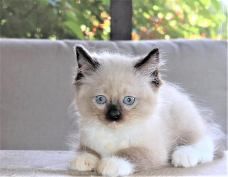 male seal mitted genuine ragdoll kitten for sale in florida