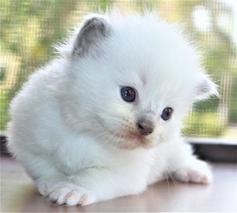 Blue Point Mitted Male Ragdoll Kittens For Sale In Florida