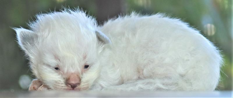 male blue lilac mitted bicolor blaze white ragdoll kitten for sale in florida