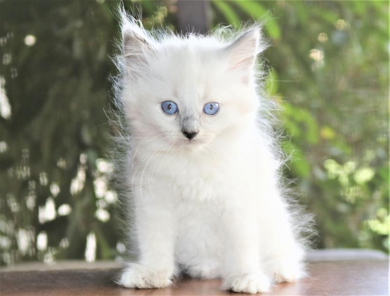 female blue lilac white mitted ragdoll kitten for sale in florida family raised