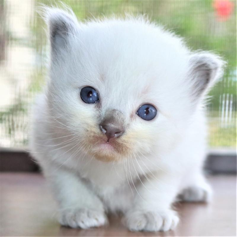 Blue Pointed Point Colorpoint Male Ragdoll Kitten For Sale In Florida