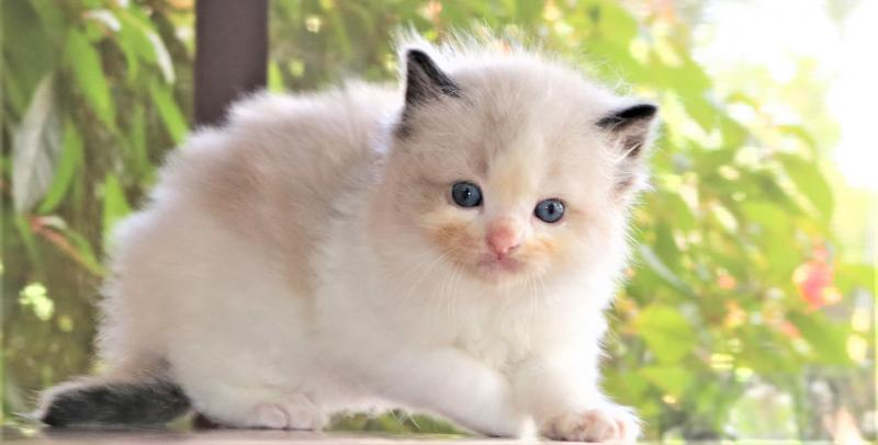 seal point bicolor male chocolate pointed ragdoll kitten for sale in florida