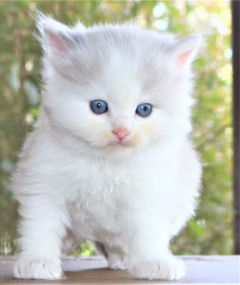 male blue lilac pointed mitted bicolor white ragdoll kitten for sale in florida