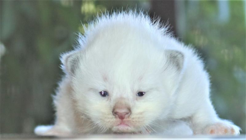 female blue lilac mitted white ragdoll kitten for sale in florida family raised