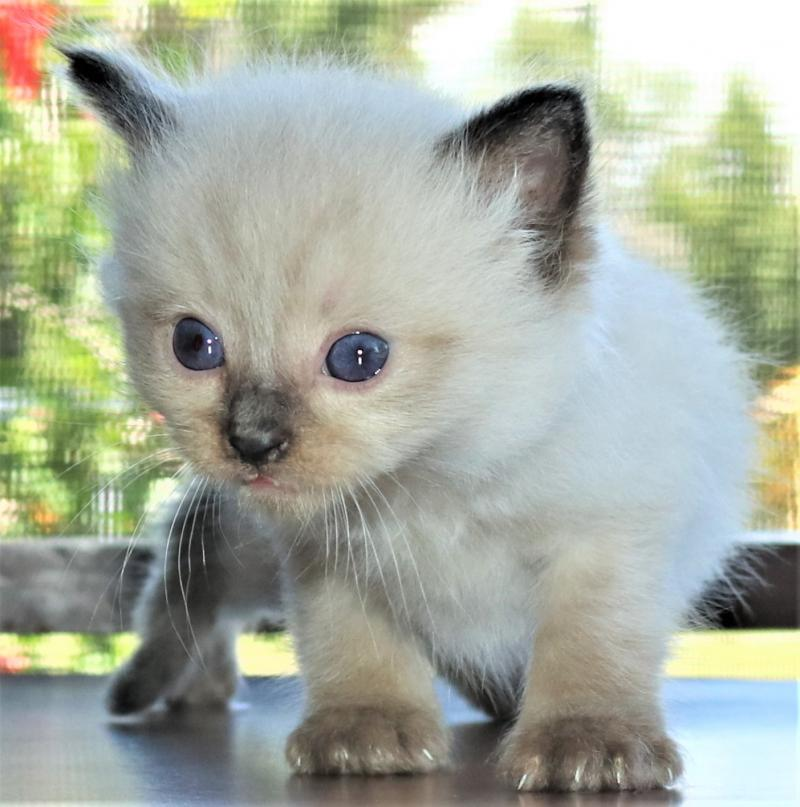 Colorpoint Male Seal Pointed Colorpoint Ragdoll Kitten For Sale In Florida