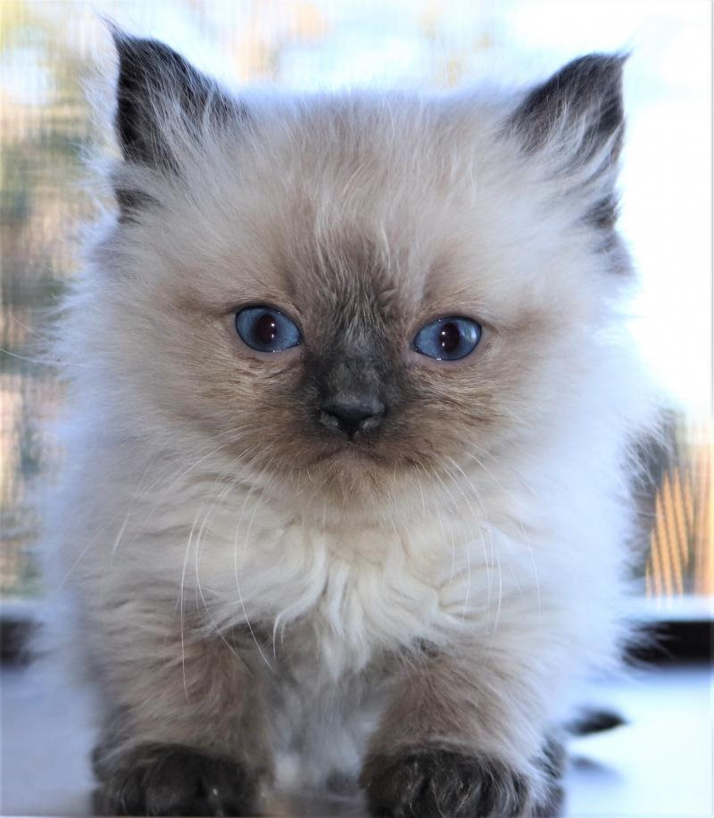 Colorpoint Male Seal Pointed Colorpoint Genuine Ragdoll Kitten For Sale Florida
