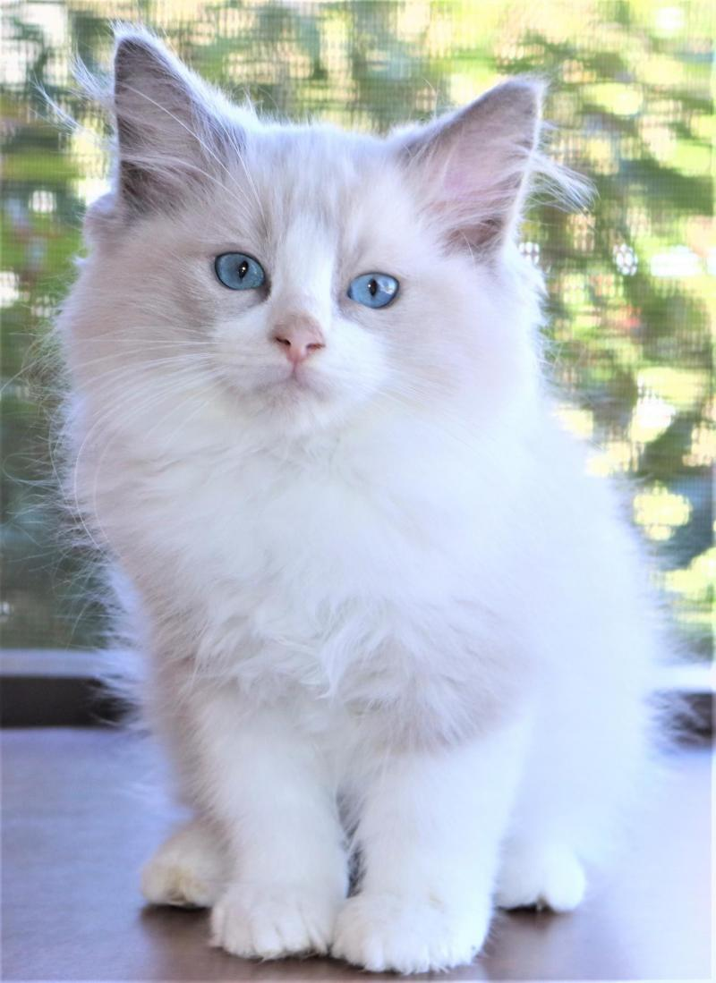 male blue lilac mitted bicolor white ragdoll kitten for sale in florida
