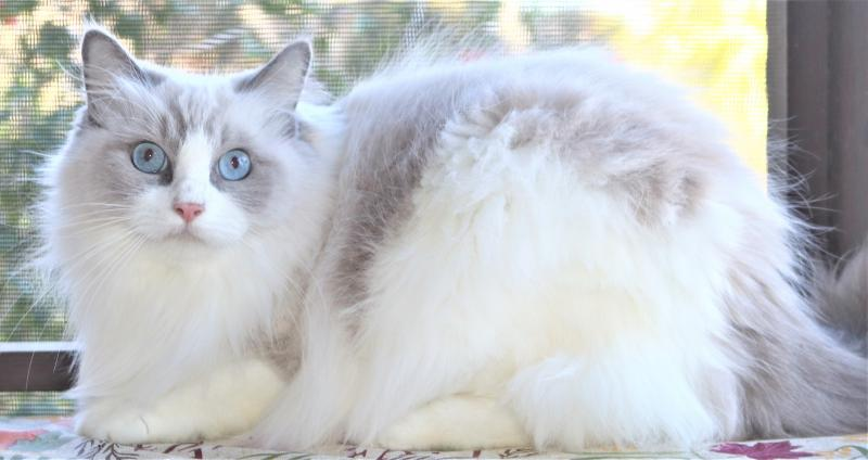 female bicolor blue lilac white mitted genuine ragdoll kitten for sale in florid